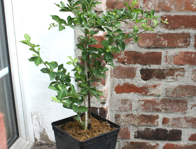 Acerola (Malpighia Punicifolia), Größe M. 2 Liter
