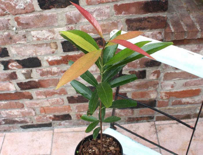 Rosenapfel (Syzygium jambos)