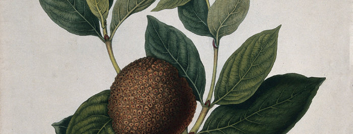 African peach (Nauclea latifolia)