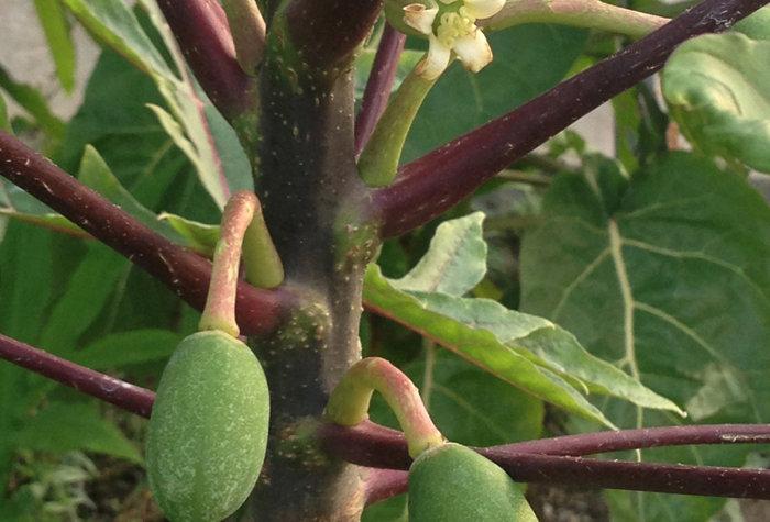 Papayuelo, Samen (Vasconcellea goudotiana)