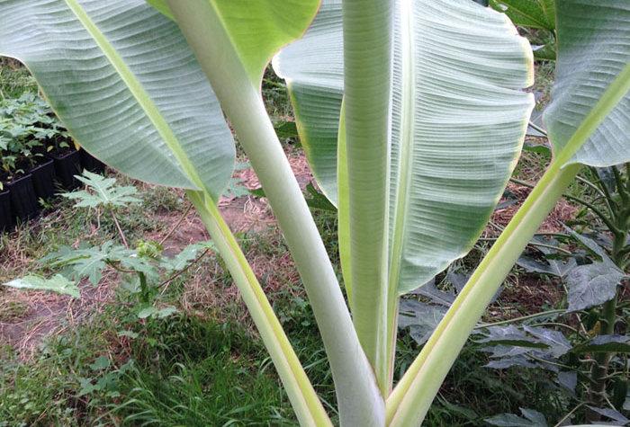 Musa  Blue Java (Eiscreme Banane)