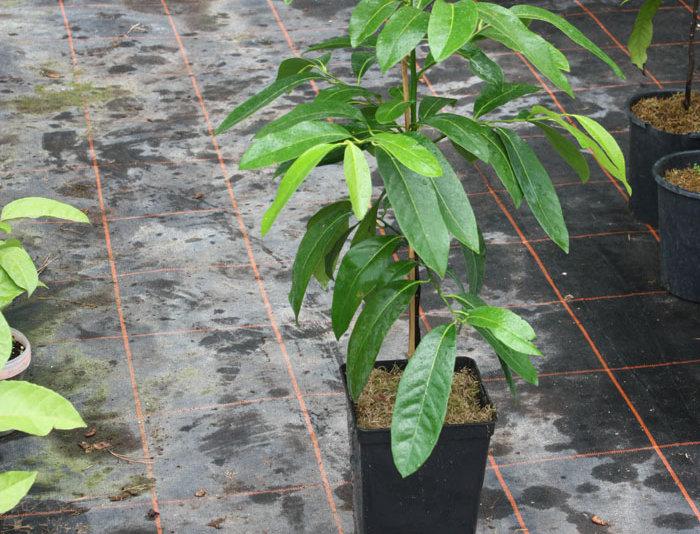 Schwarze Sapote (Schokoladenpudding Frucht)