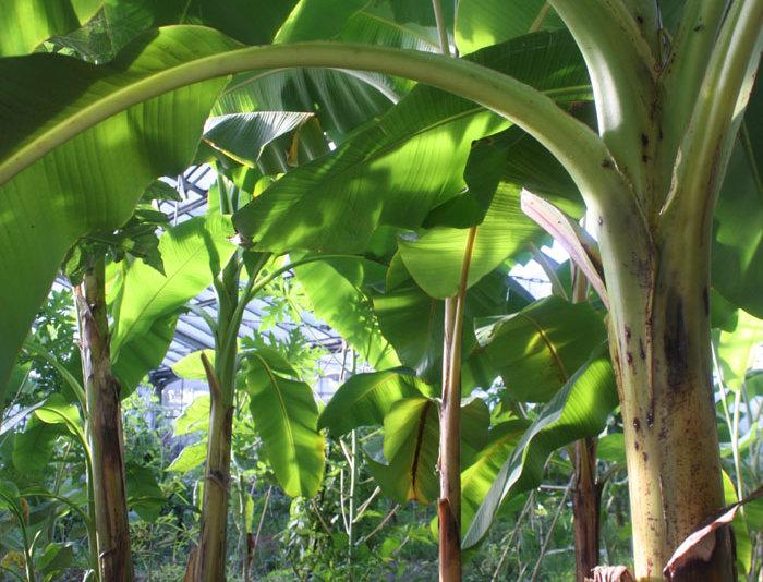 Wild Bananen (besser frosthart)
