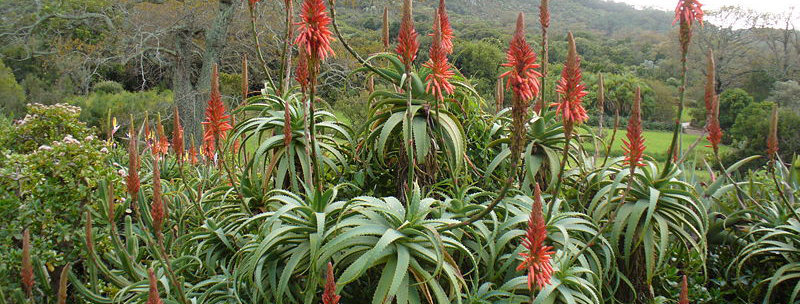 Baum-Aloe