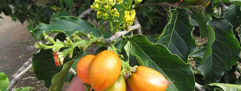 Peanut butter fruit (Bunchosia glandulifera)