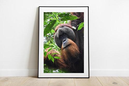Male Sumatran Orangutan Portrait