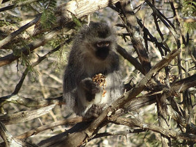 We did it thank you! £4425 raised to fund the release of a Vervet monkey troop in South Africa.