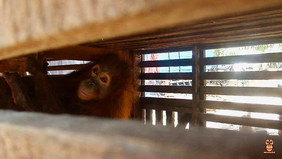 Leci's story: locked in a cage at a young age, but now ready to live in the wild. Let's give