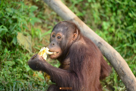 Our Orangutan appeal gets attention
