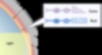 photoreceptors in the retina.png