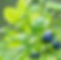 ブルーベリーの葉エキス.png