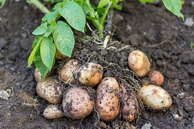 potato field vegetable with tubers in so