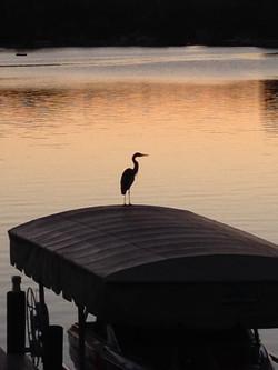 Magician Lake Heron