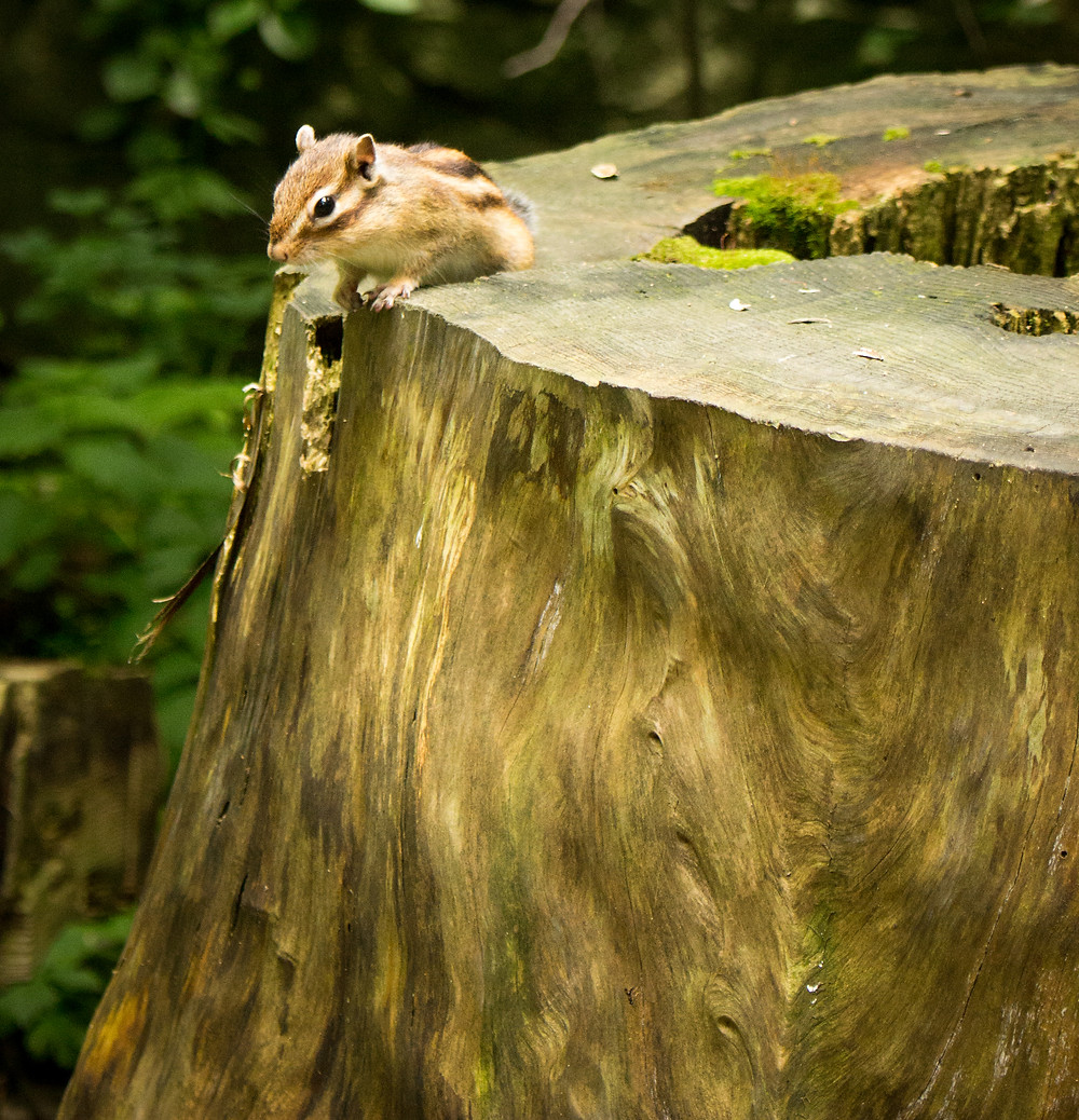 One of the chipmunks of Maruyama Park