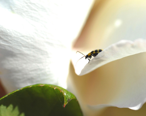 Henry Bug