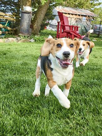 basset-hound2.jpg
