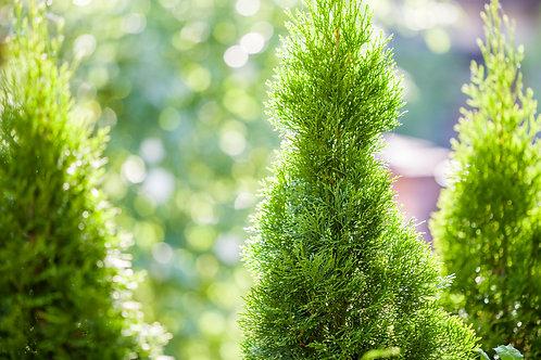 Cedar Trees $2/ft (4'-6' High)