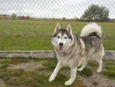 Husky playing at Covered Bridge Boarding Kennel