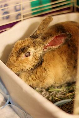 injured rabbit.jpg