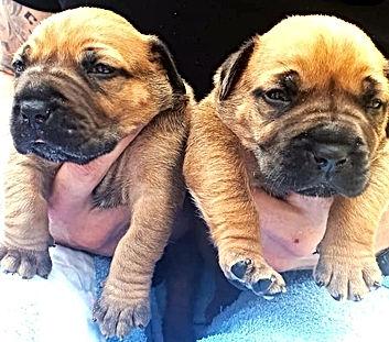 Jato puppies