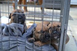 Jato Boerboel pups