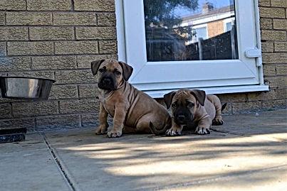 soul x saxon puppys.