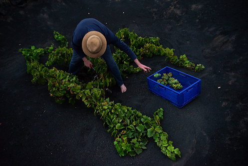 Vincente harvests grapevines, Lanzarote, the Canary Islands, 2020