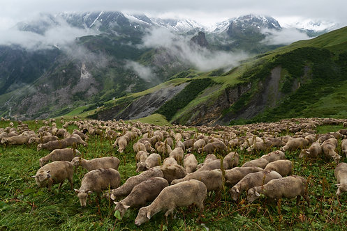 A flock of sheep on the TMB trail, France, 2014
