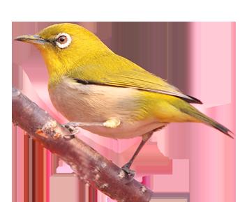 img_bird_Japanese White-eye_2x