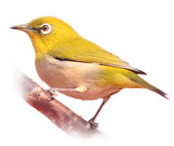 img_bird_Japanese White-eye_2x