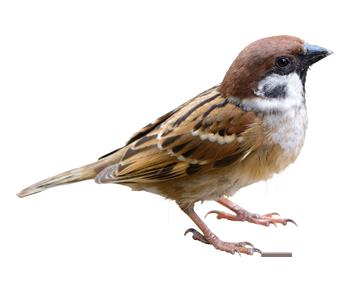 img_bird_Sparrow_2x