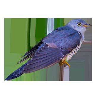 img_bird_Himalayan cuckoo_2x
