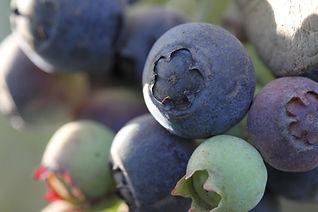 Coastal Moon Blueberries.jpg