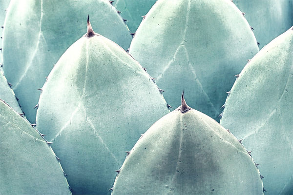 Agave%2520parryi%2520leaf%2520closeup_edited.jpg