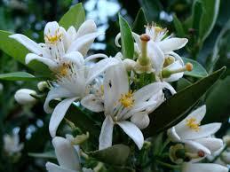 Flor de Laranjeira - Orange Blossom