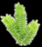Fern_leaf_4.png