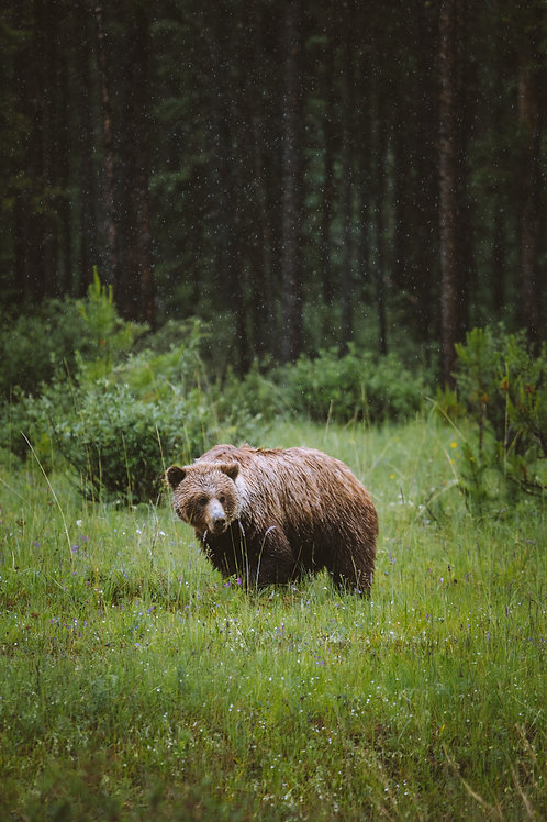 Spring Grizzly