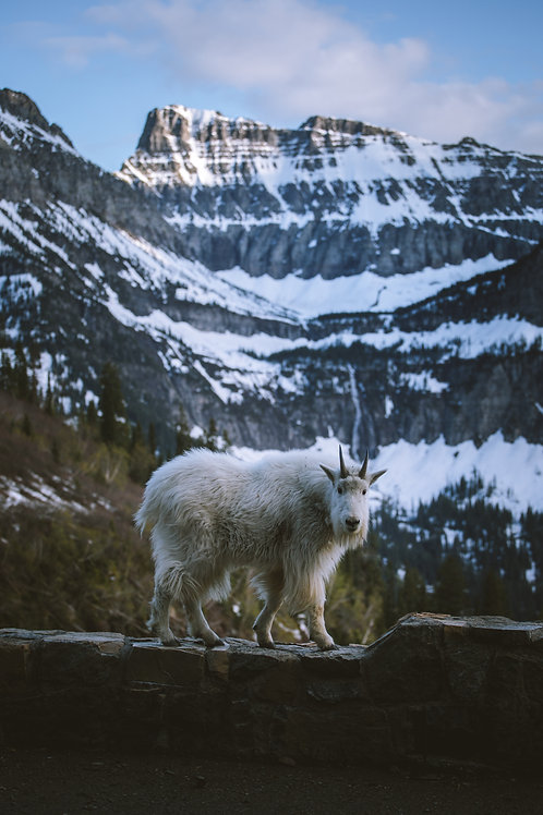 Going-to-the-Sun Goat