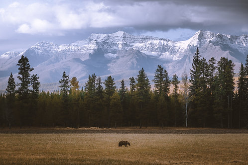 North Fork Grizzly