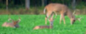 Deer grazing.png