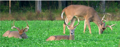Deer grazing.png