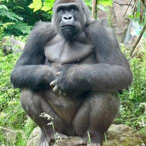 Big Black Hairy Gorilla