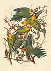 Carolina-Parrot-aquatint-Robert-Havell-J