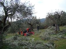 lavori nell'oliveto