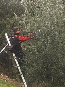 potare l'oliveto