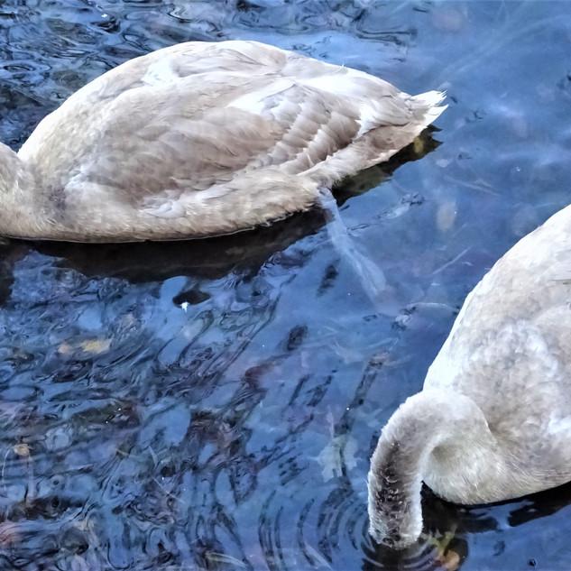 Swans Recharging