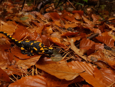 La salamandra, diseño único
