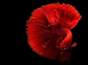 red-betta-fish-1335971.jpg