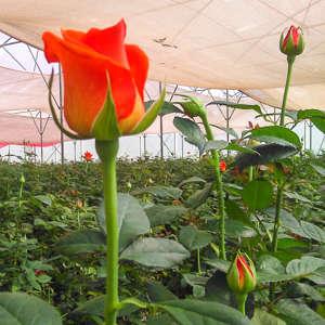 Flower-farm-Kenya-floriculture.jpg