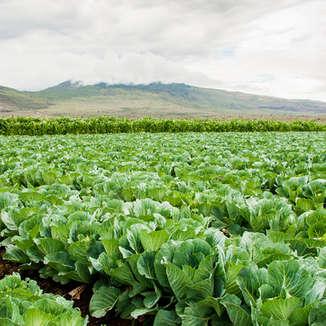 Cabbage_Strip.jpg